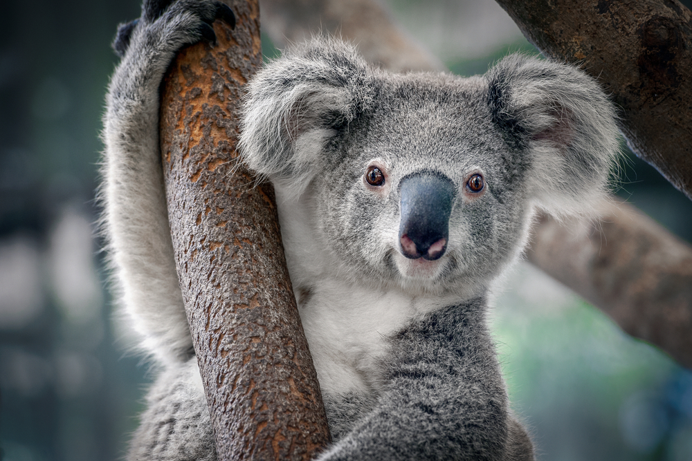 Petition: Protect Koalas From Extinction by Stopping Rampant Deforestation