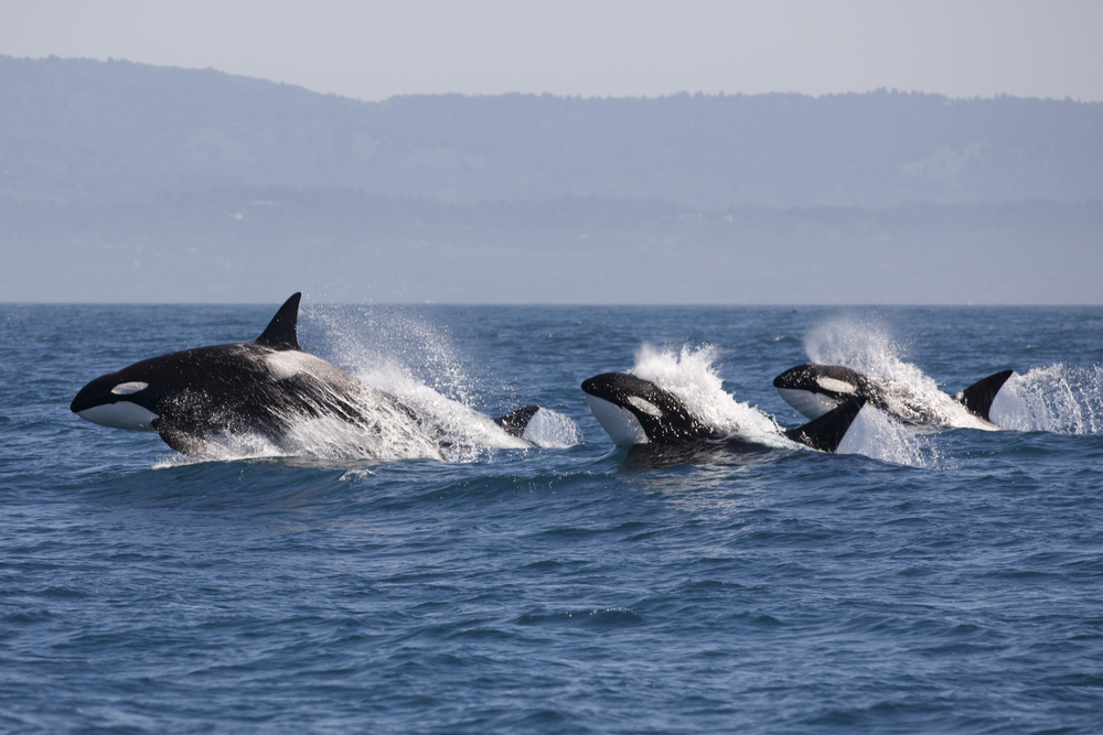 Killer whales swimming in the wild