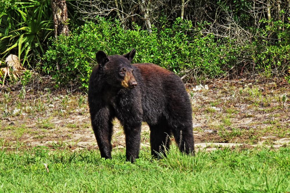 Black bear in Florida