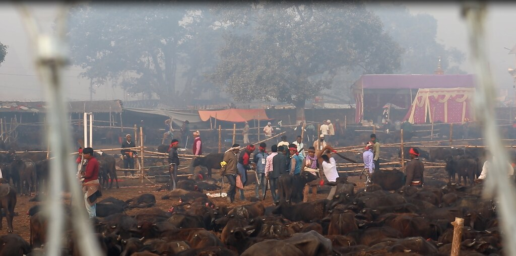 Gadhimai Festival 2019