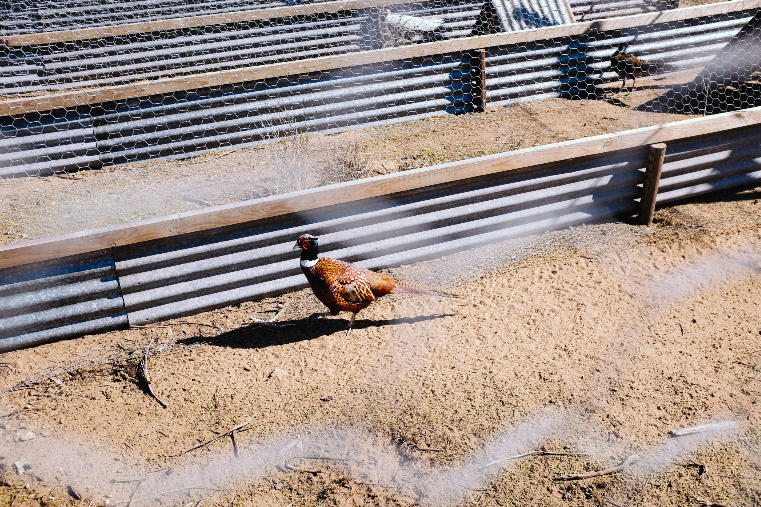 Pheasant in Cage