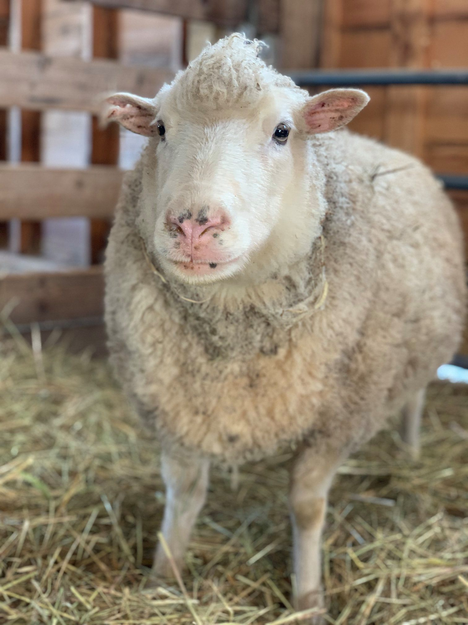 Rescued sheep named Mabel
