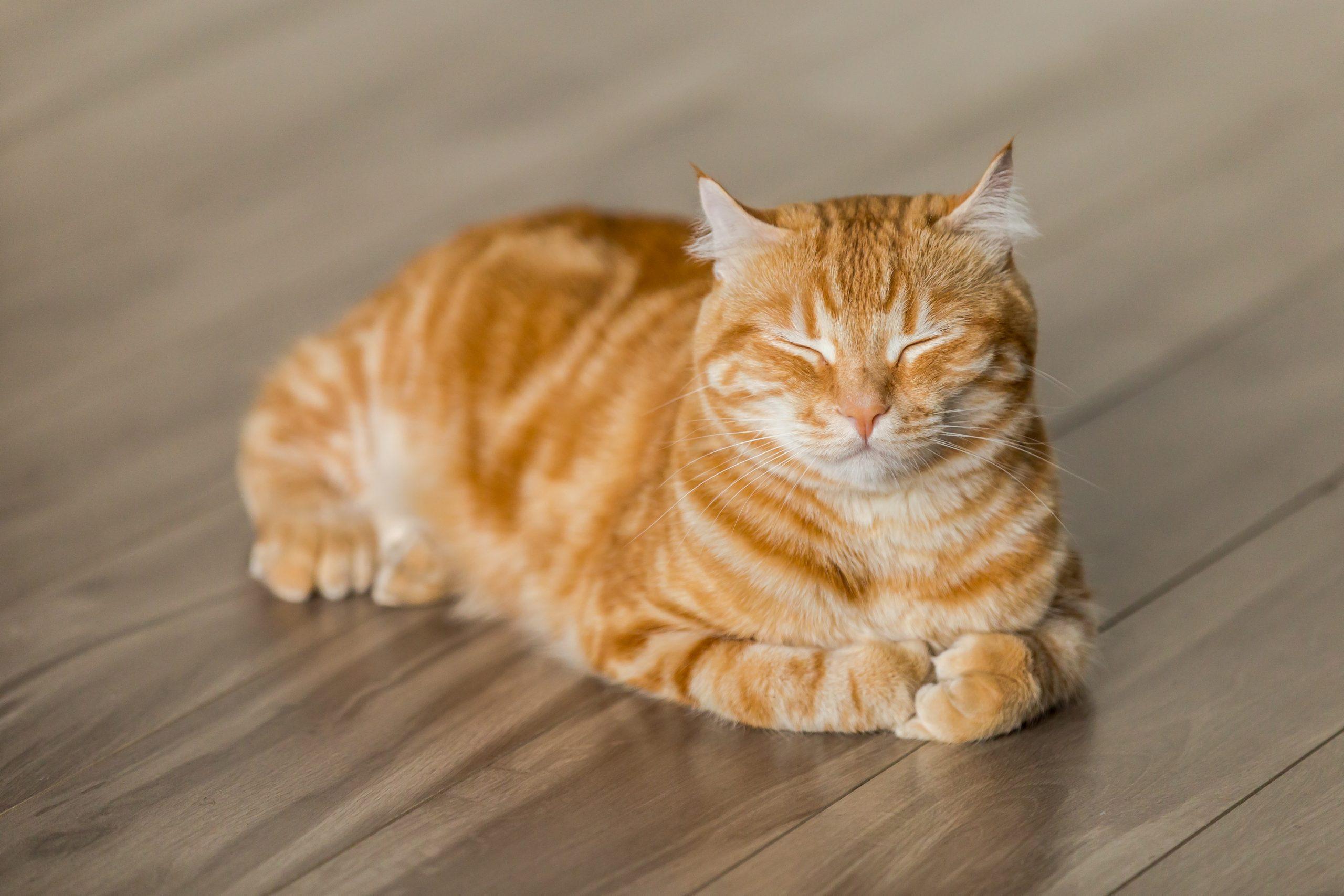 Tabby Cat on Floor