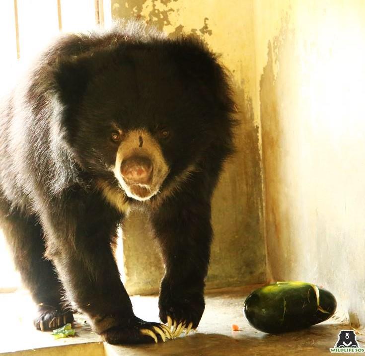Rescued sloth bear enjoying watermelon