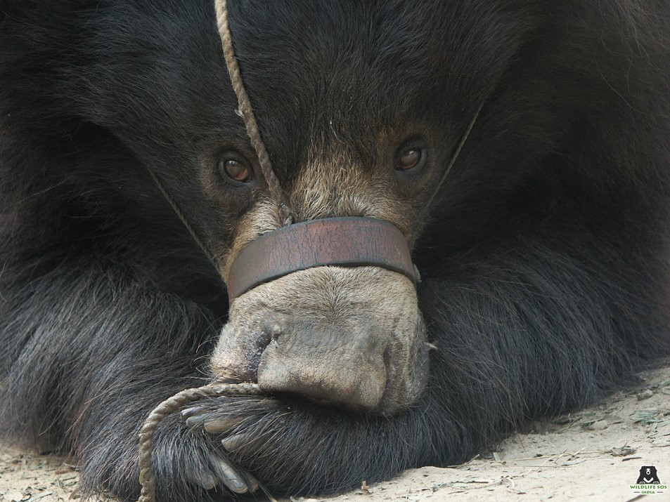 sloth bear rescued from poachers by wildlife sos