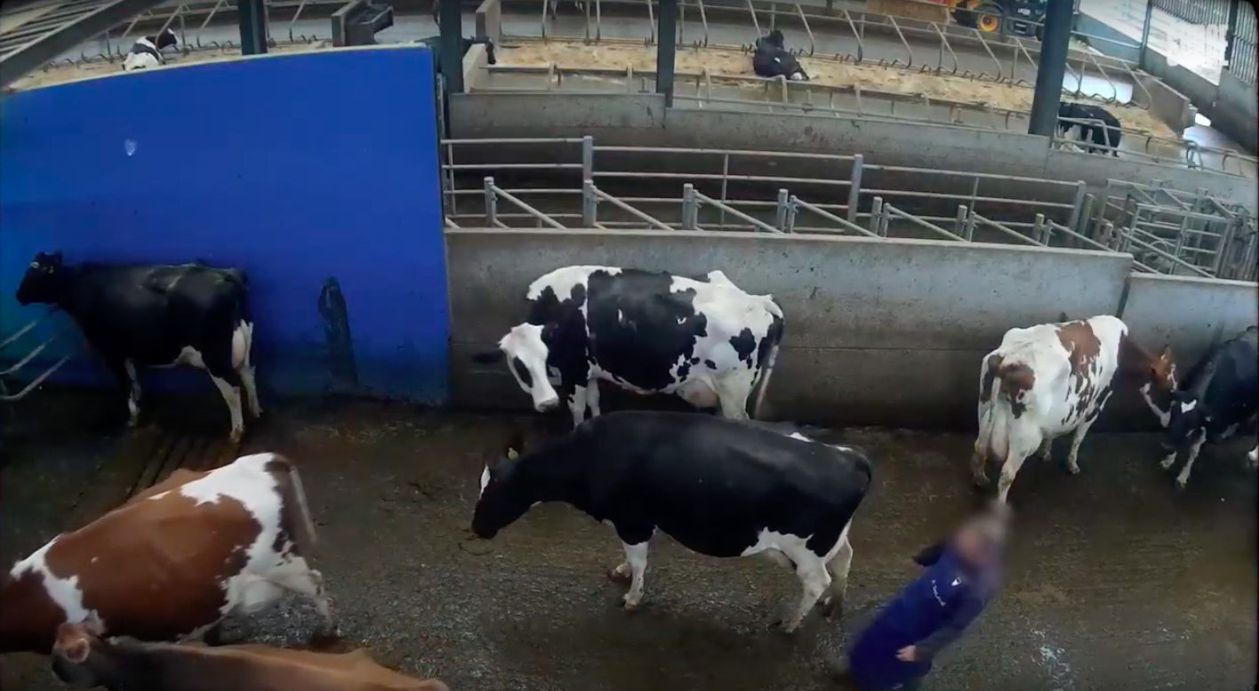 Abused cows at Essex dairy farm