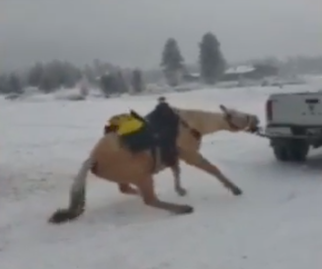 Horse named Trigger being dragged by pickup truck