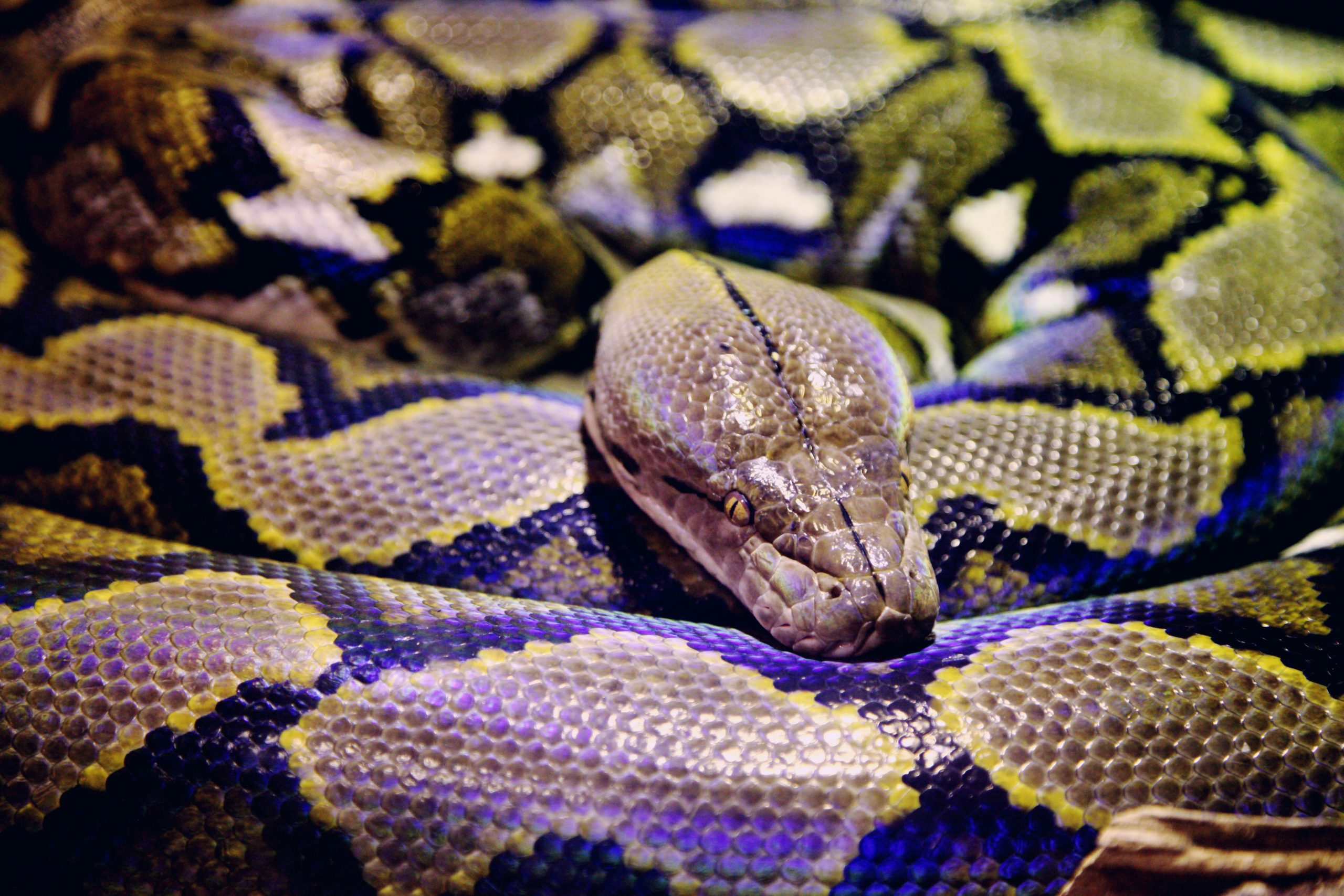 PETA is Calling to End 2020 Python Bowl Where Citizens are Trained to Hunt and Kill Snakes Inhumanely