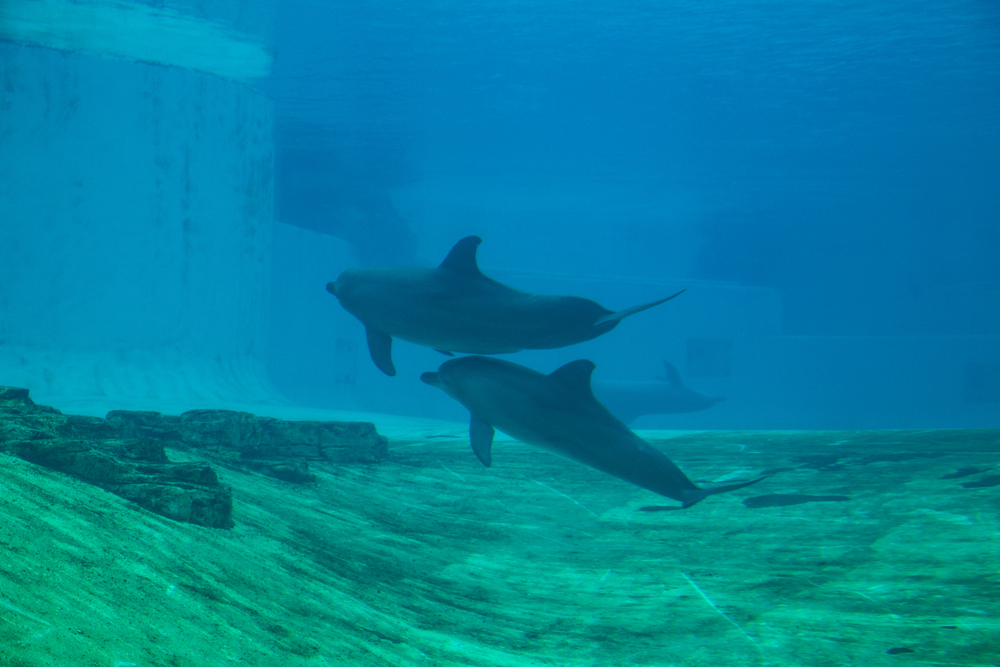 captive dolphins in Singapore