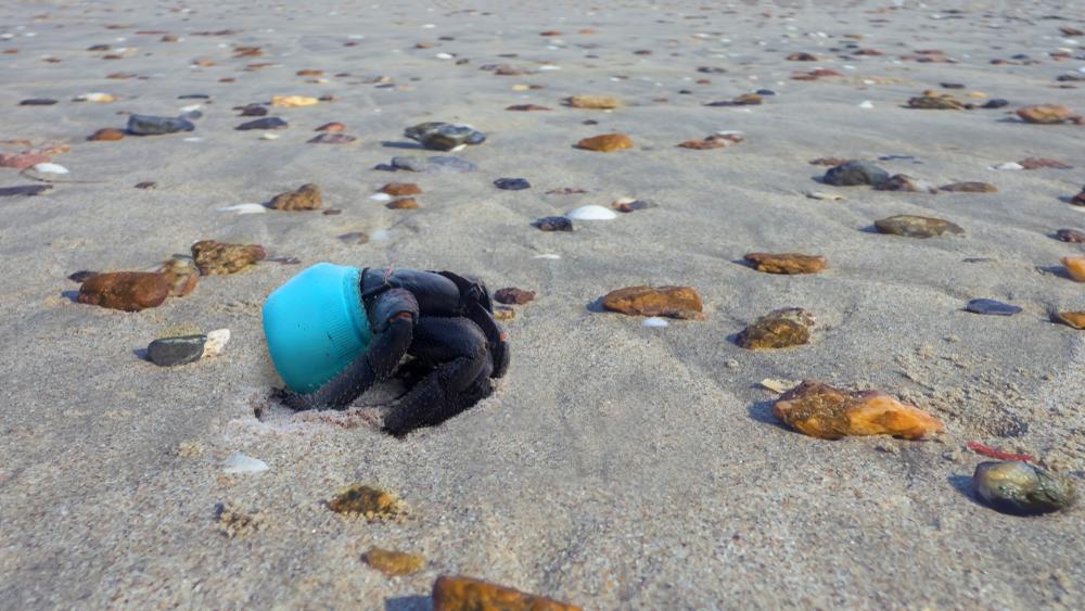 hermit crab living in blue plastic