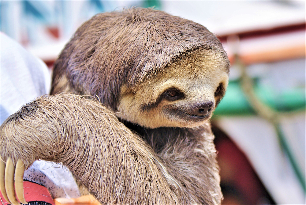 Petition: Sloth Yoga Exploits Animals for Profit!