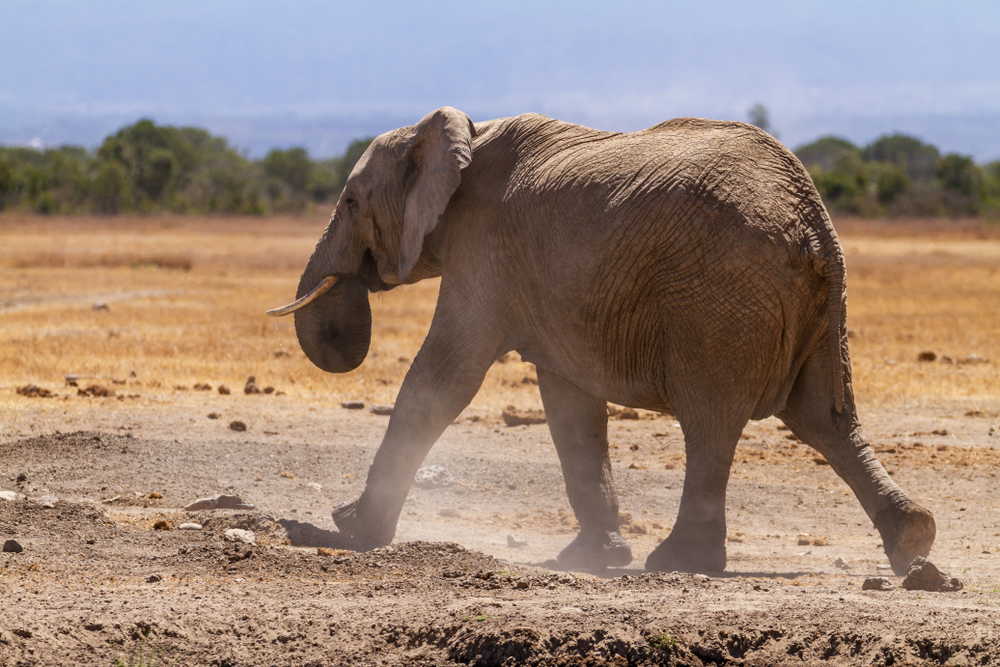 elephant in Kenya