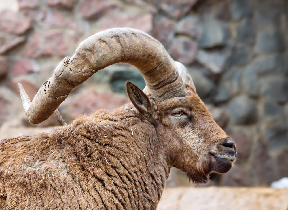 Rare argali sheep