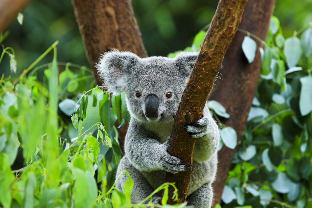 Petition: Support the Proposal for a Refuge to Save Koalas From Extinction!
