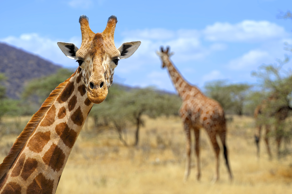New York is the First State to Ban the Sale of Giraffe Products!
