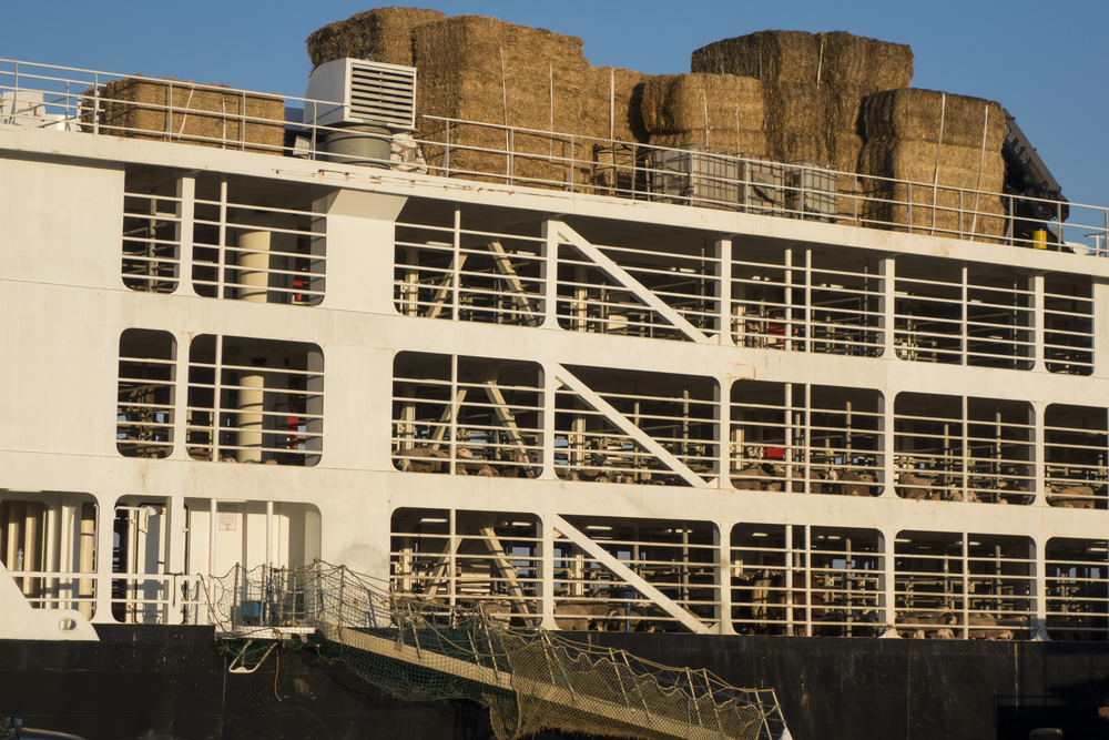 sheep on cargo ship