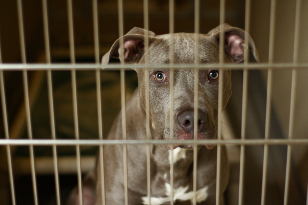 Pit bull in cage
