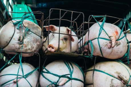 Pigs in crates on way to slaughterhouse