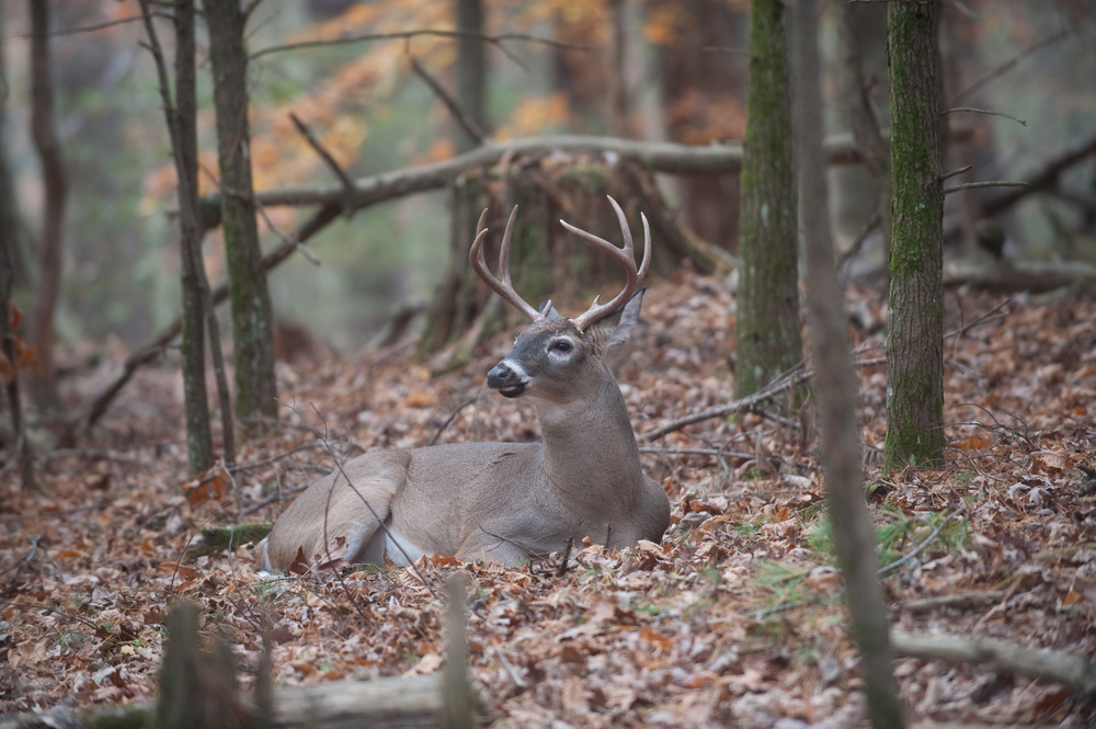 deer laying down in the woods