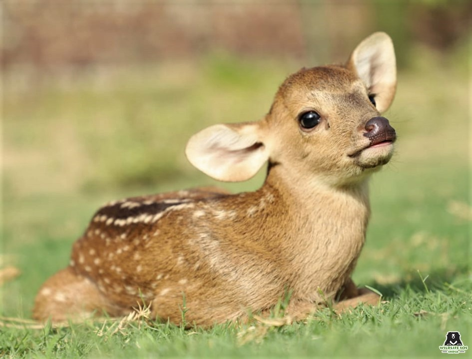 Baby deer saved by Wildlife SOS