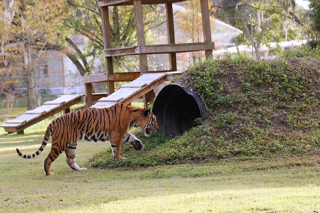 Rescued tiger playing in sanctuary