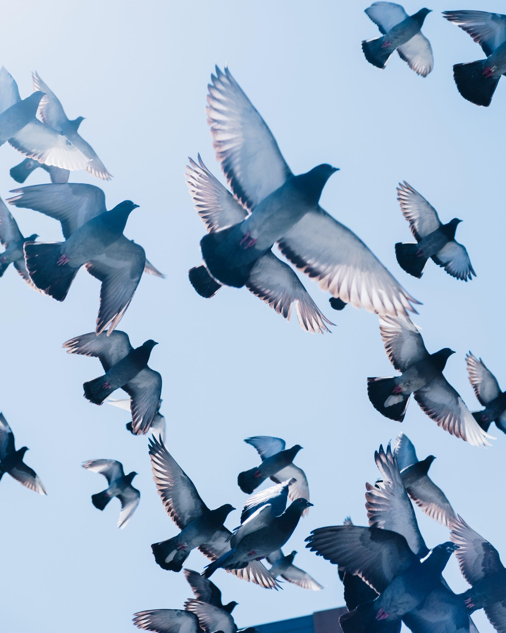Flock of Pigeon