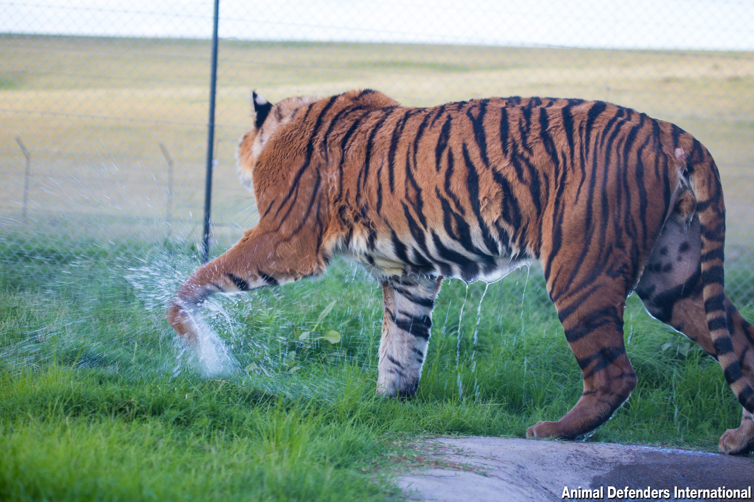 tiger at ADIWS leaving pool