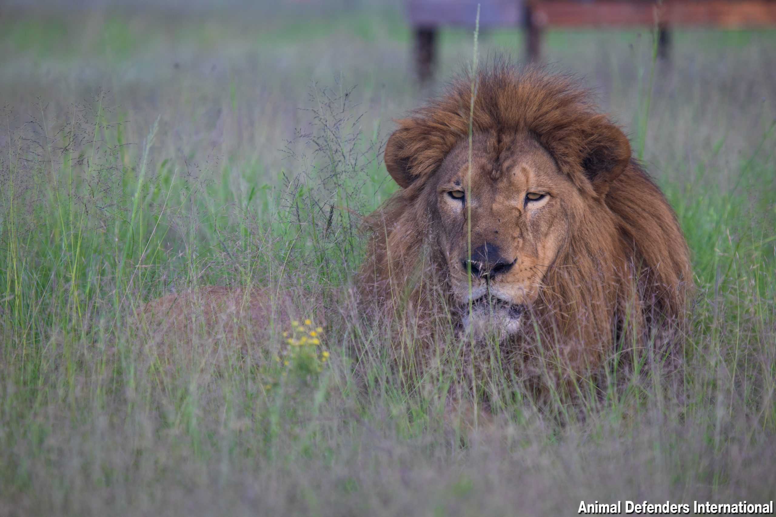 Lion in grass at sanctuary