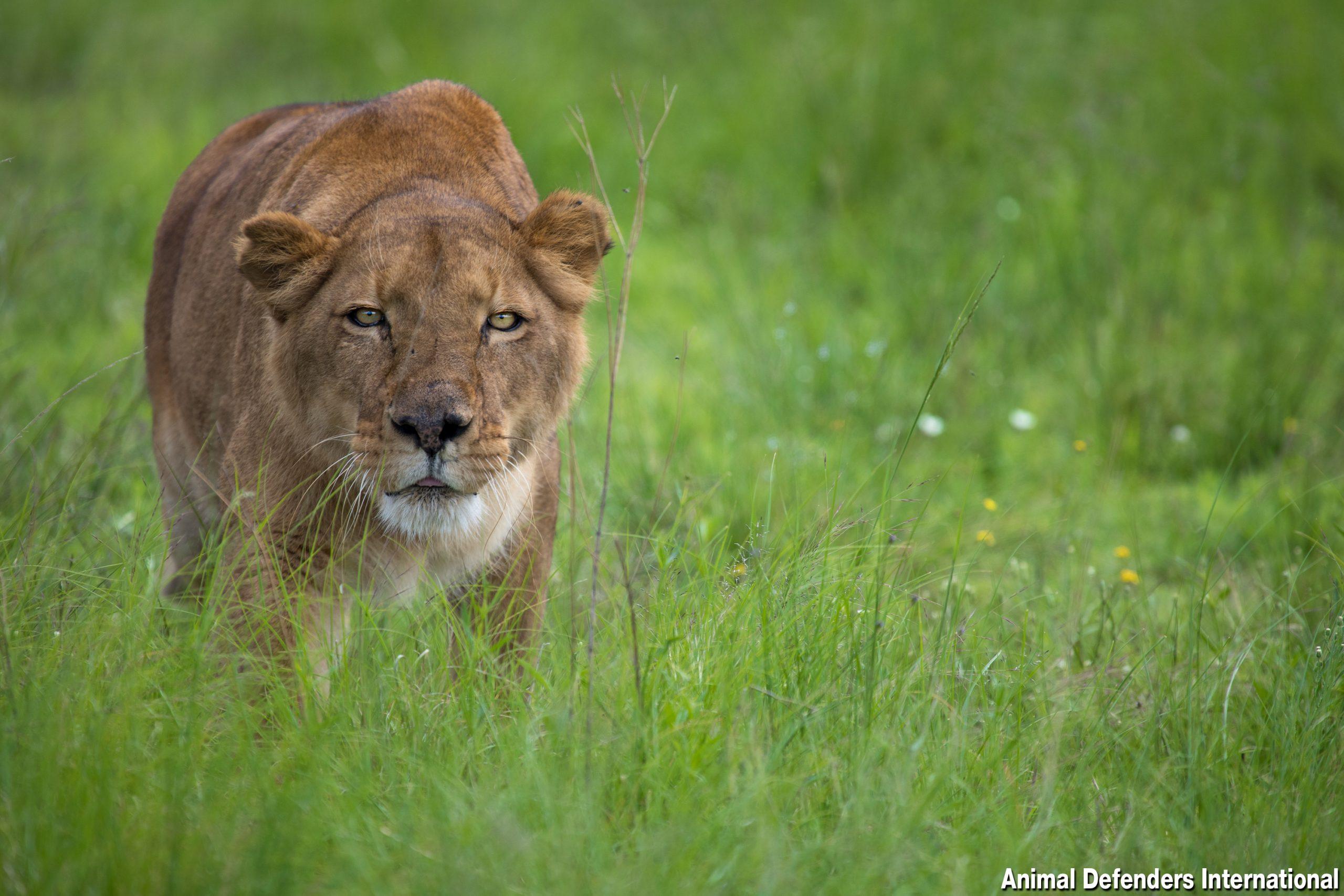 Tanya the lion at ADI Wildlife Sanctuary