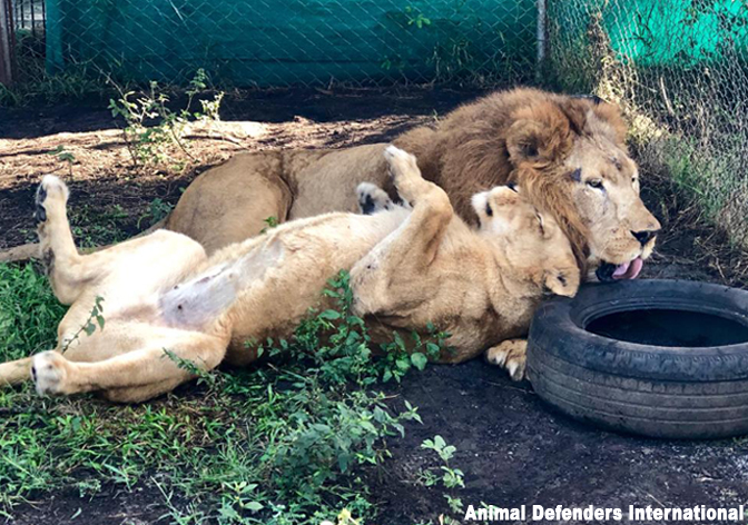 Rescued lions Tarzan and Tanya