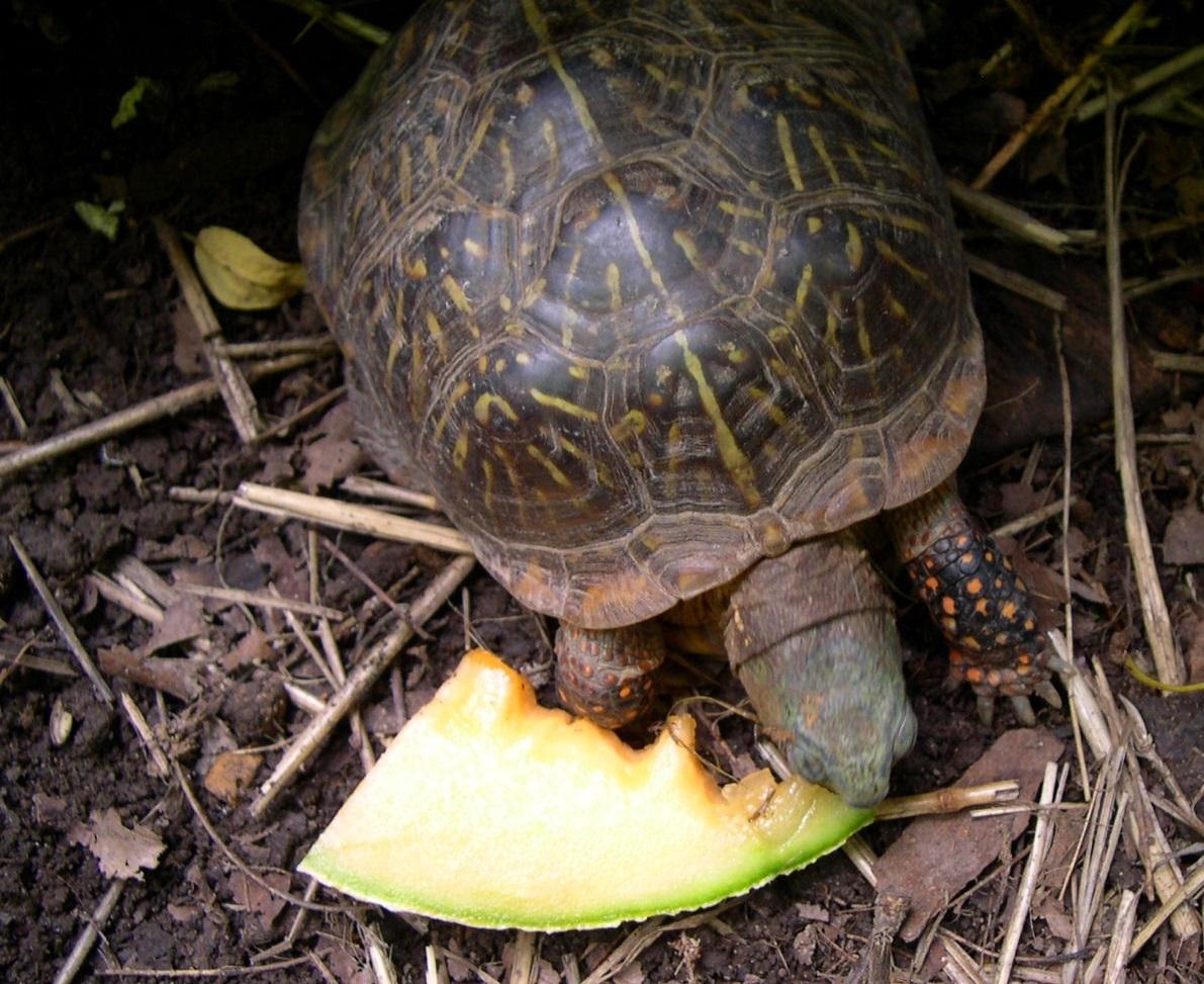 Ornate Box Turtle Eating