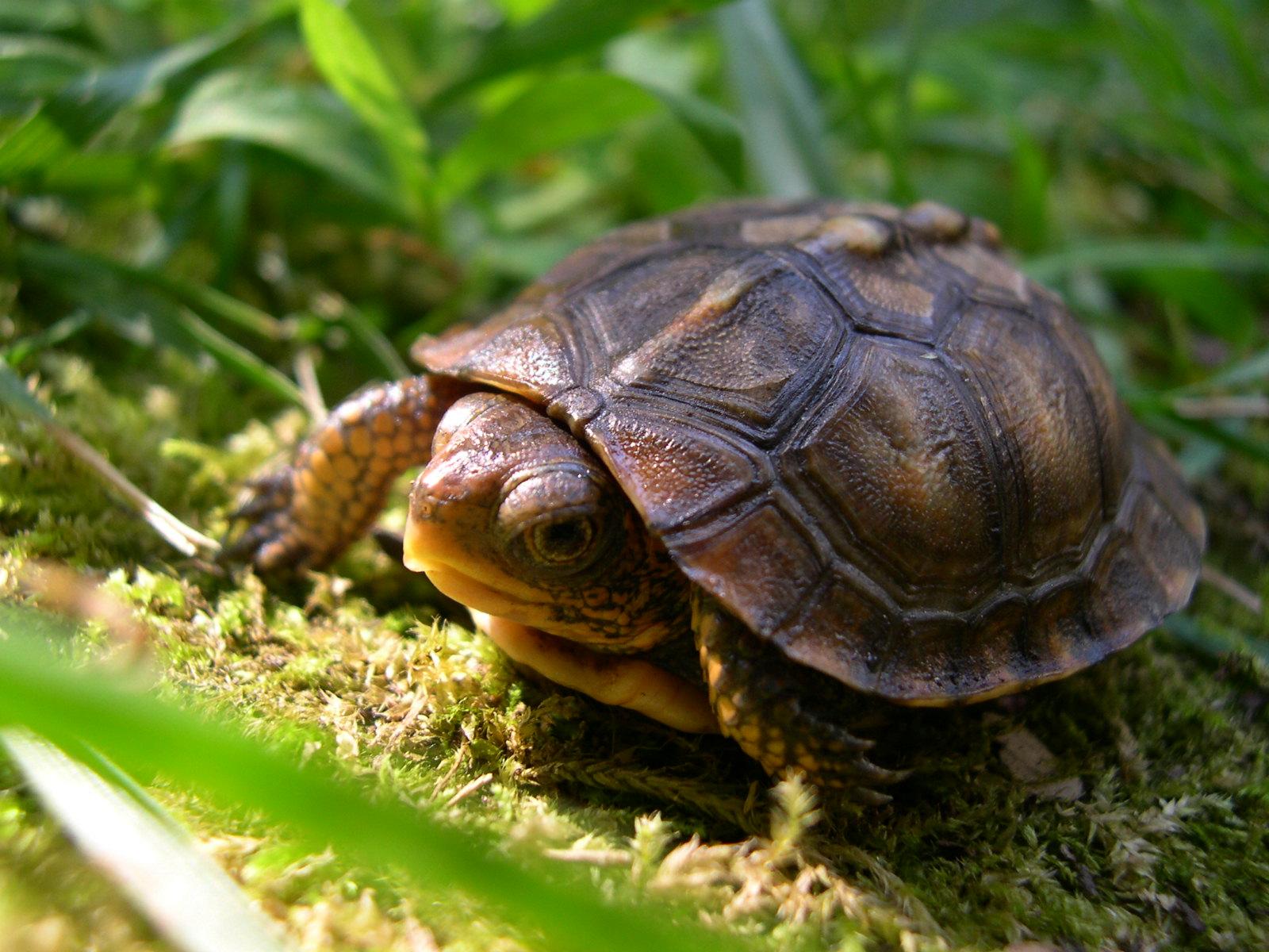 Box Turtle Hatchling