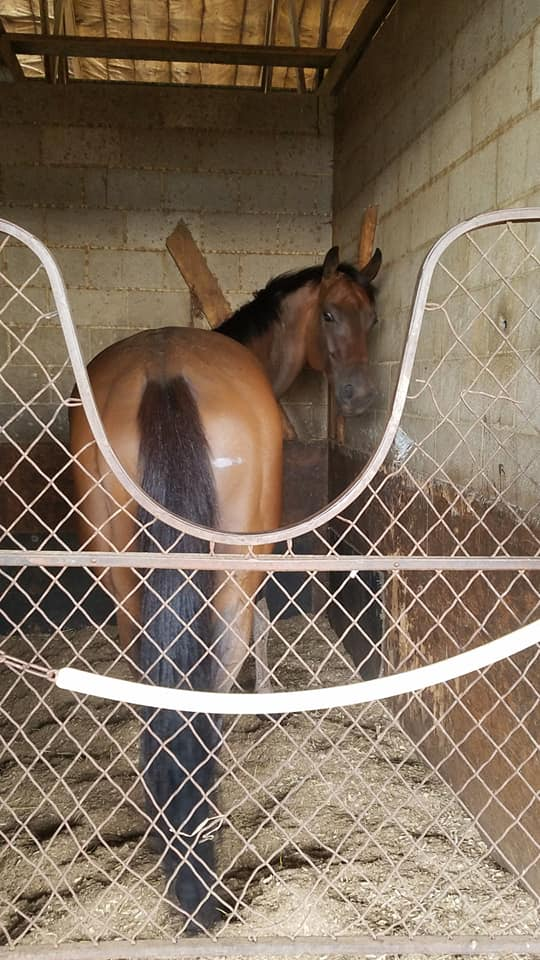 race horse in stall