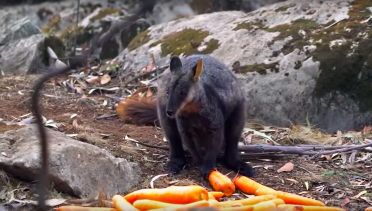 Wallaby eating carrots dropped by government