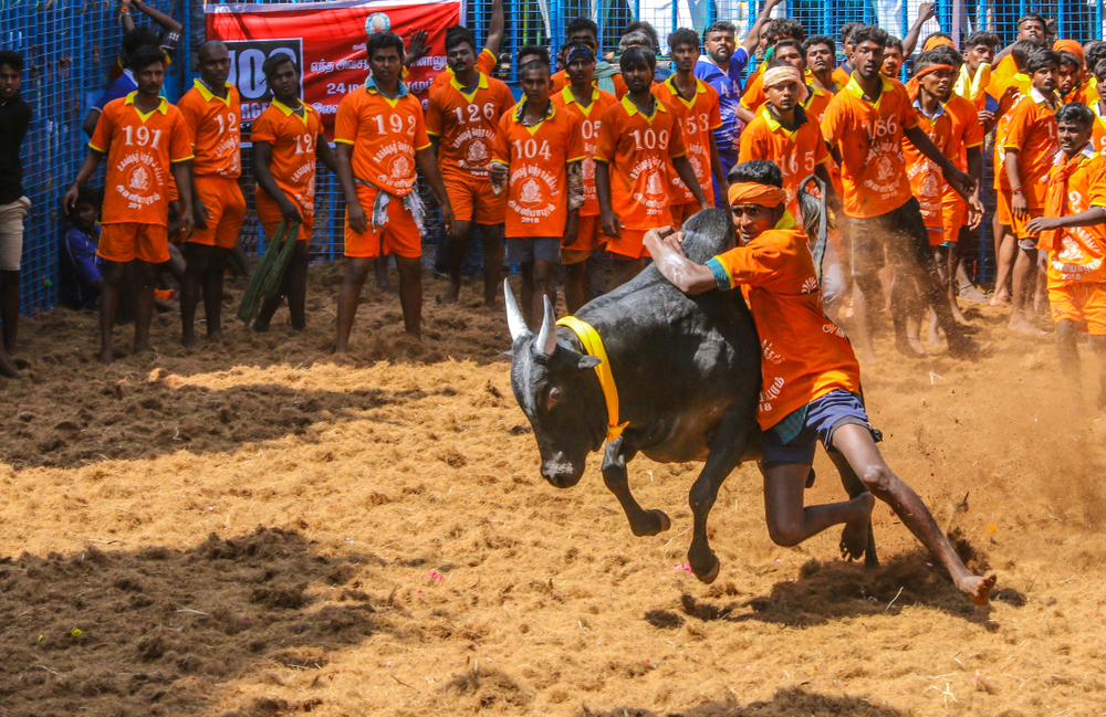 Jallikattu festival with bull being tortured
