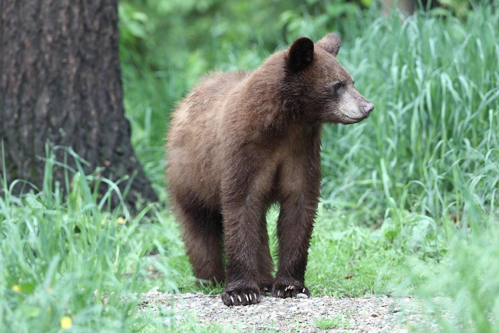 Young North American black bear