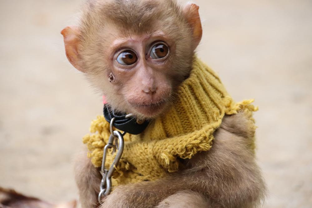 Sad baby monkey on chain
