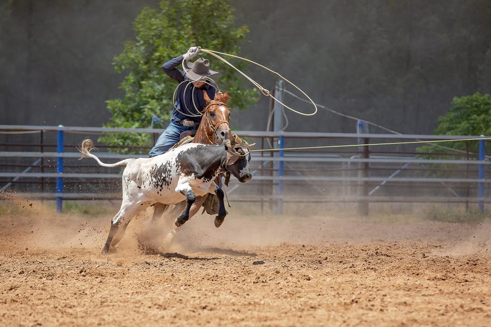 Cruel calf roping at rodeo