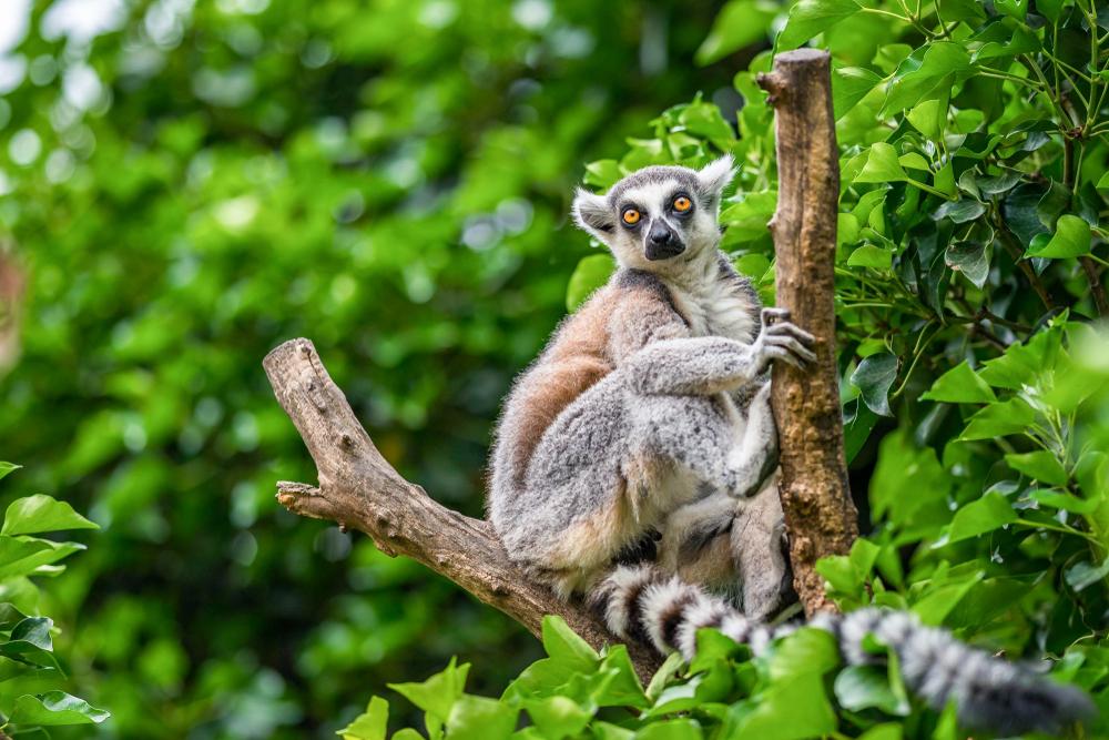 Lemur in Madagascar rainforest