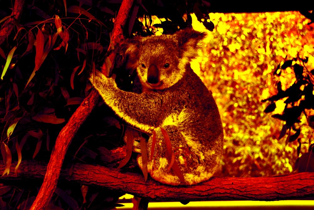 Koala in Australian fires