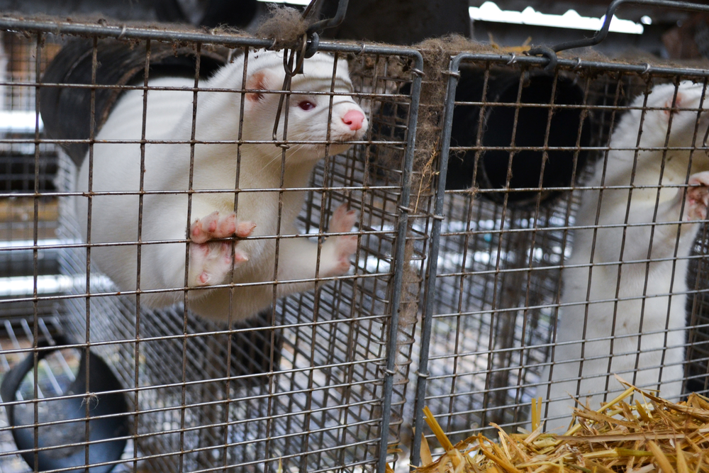 Mink in cage on fur farm