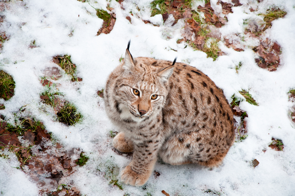 Swedish lynx sitting on snow