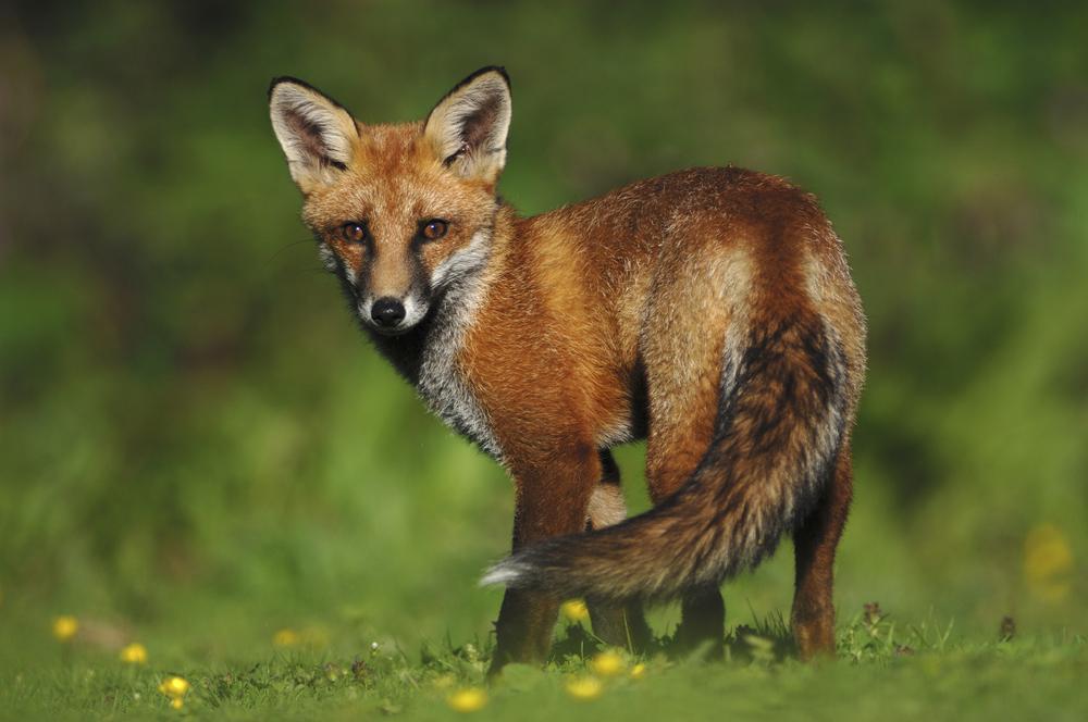 Fox in the UK