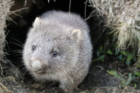 Wombat coming out of burrow