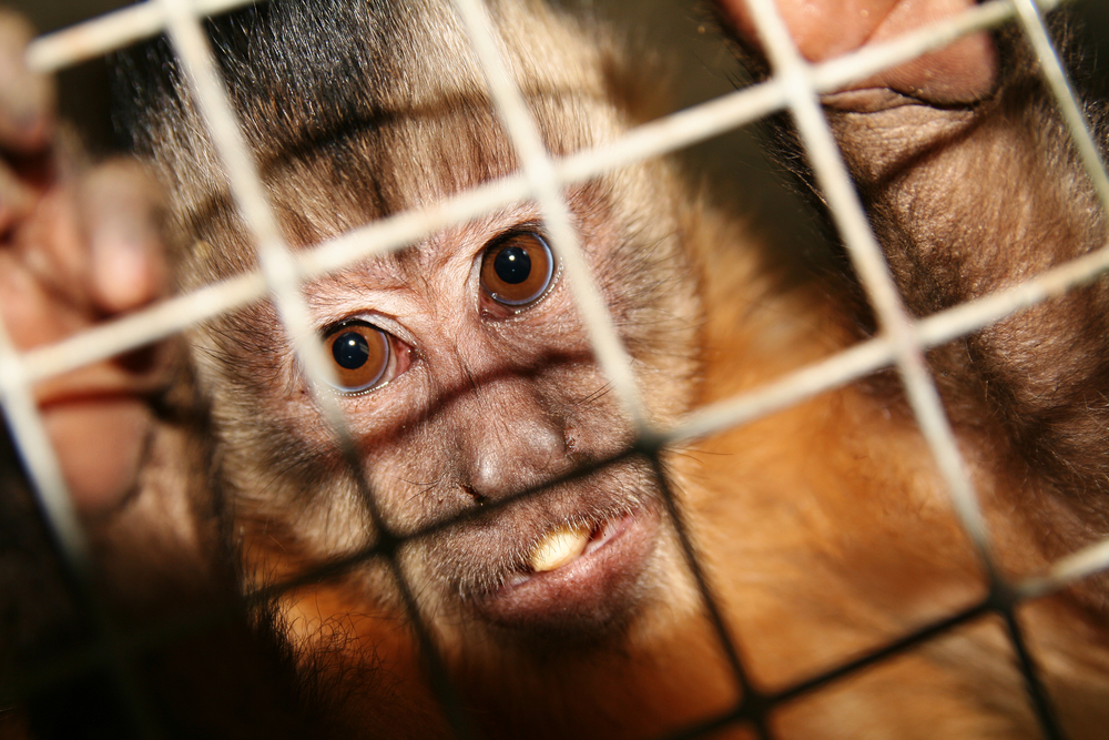 monkey in lab cage