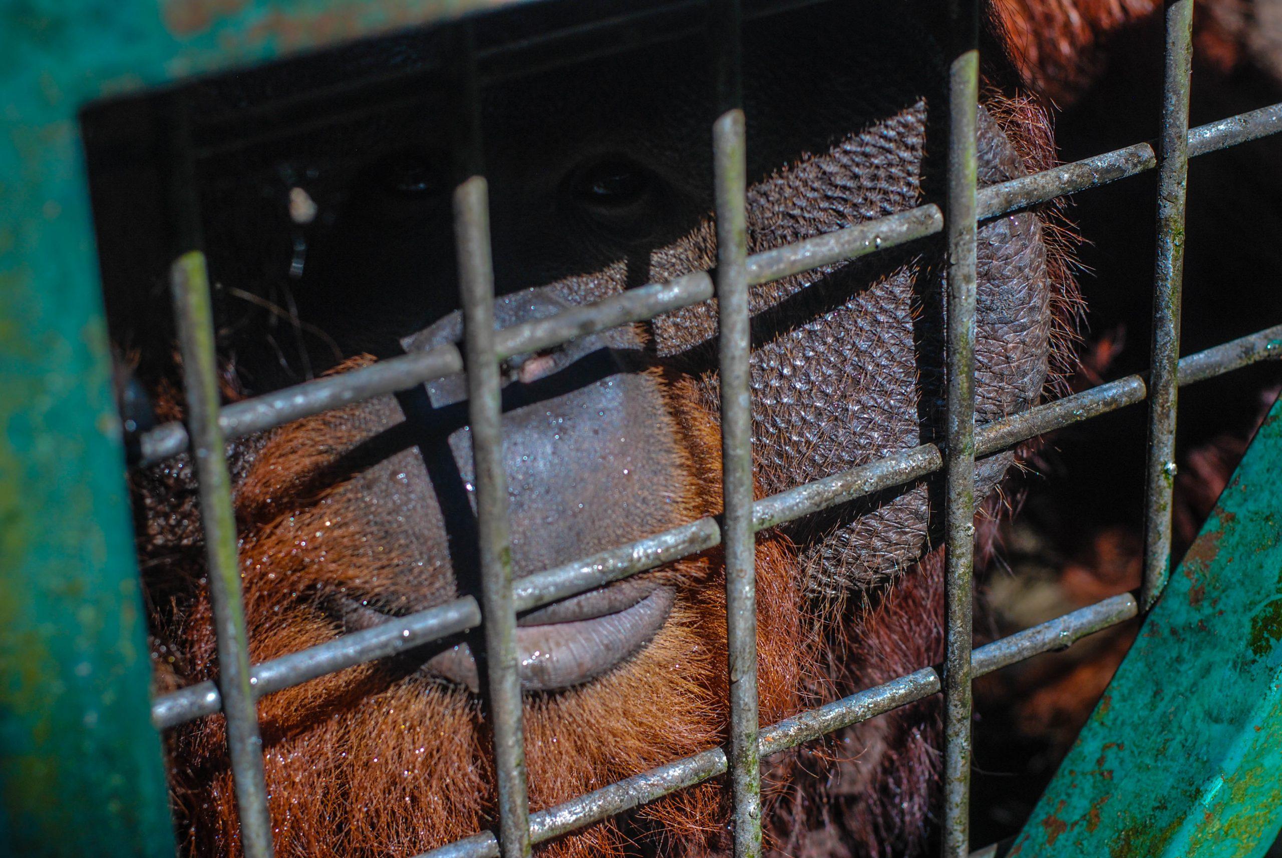 Orangutan WRC Jogja