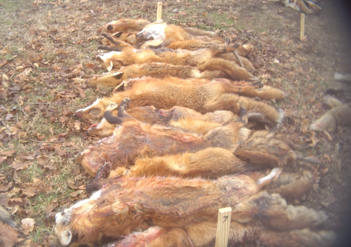 Investigation Uncovers Cruel Wildlife Killing Contests in Maryland