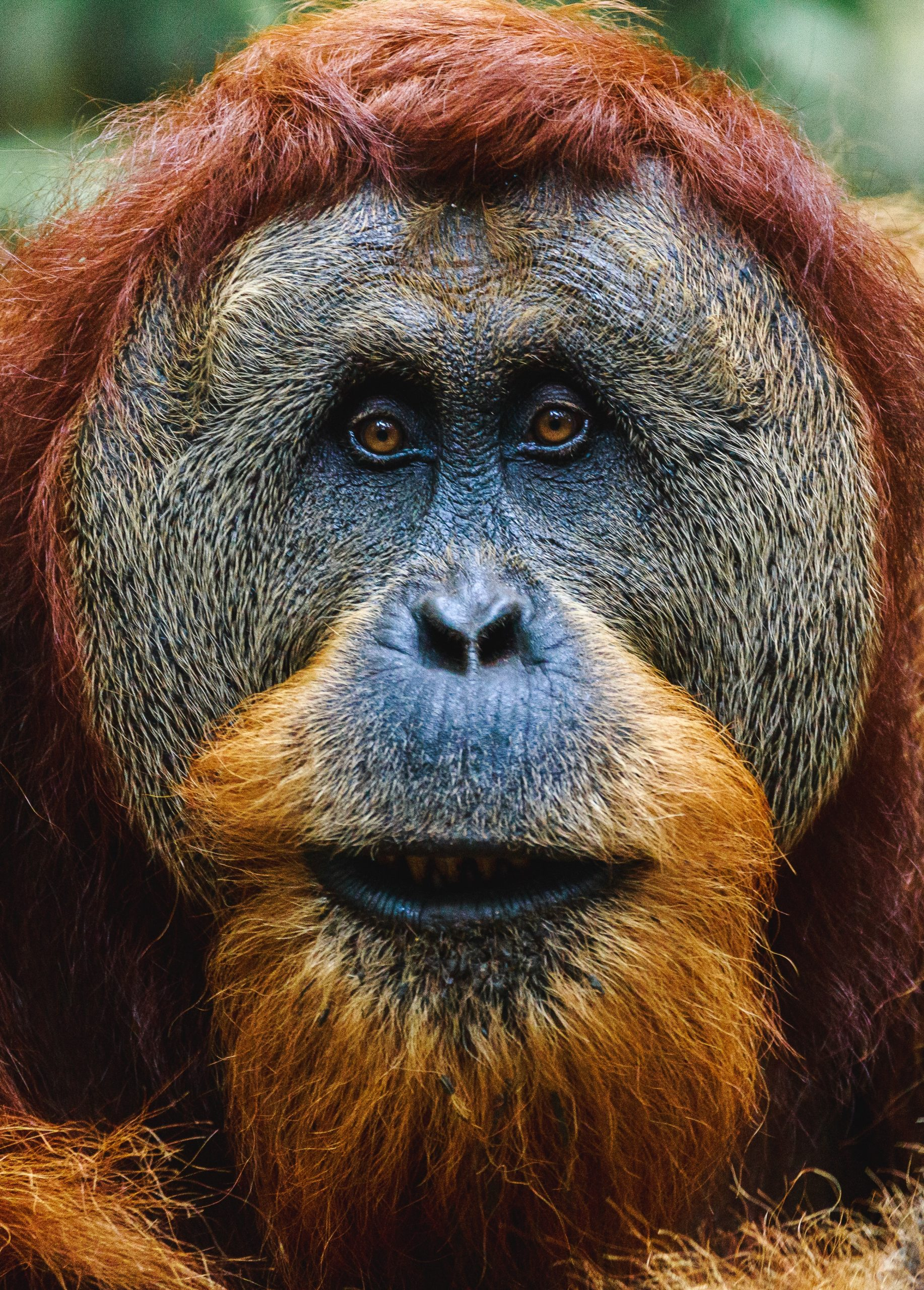 Palm Oil Deforestation: A Threat to Orangutan Populations, Indigenous People and Biodiversity