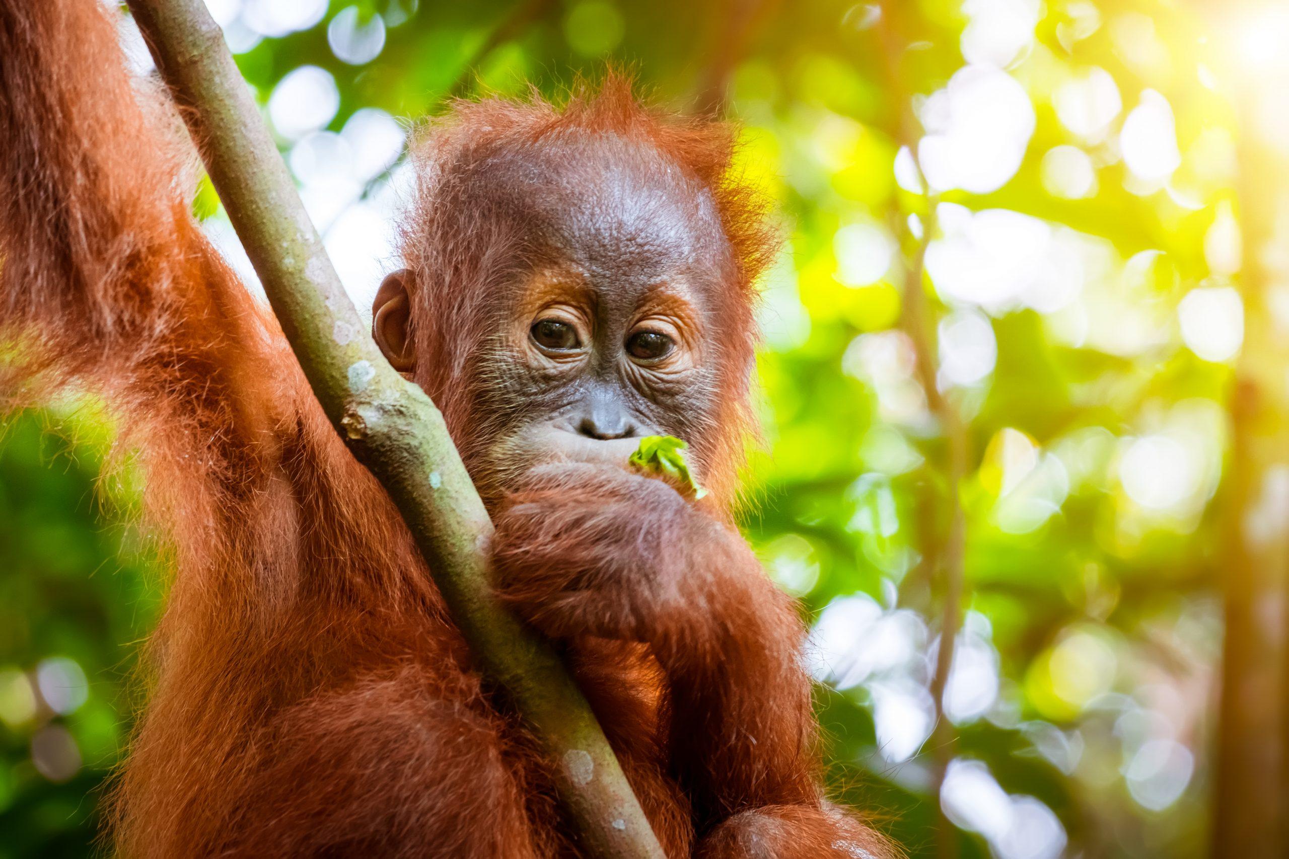 Baby orangutan in tree