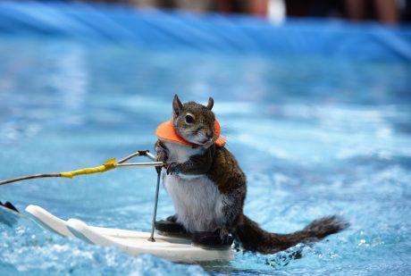 Twiggy Waterskiing Squirrel